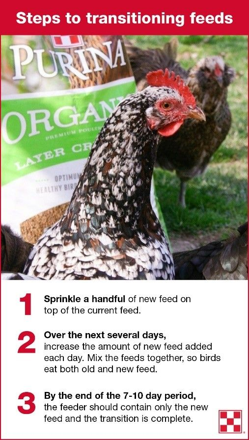 How To Switch To A Chicken Layer Feed Backyard Chickens Organic