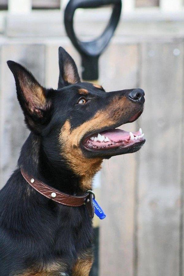 Zahlee Kelpie With Images Australian Kelpie Dog Waiting Dog Portraits