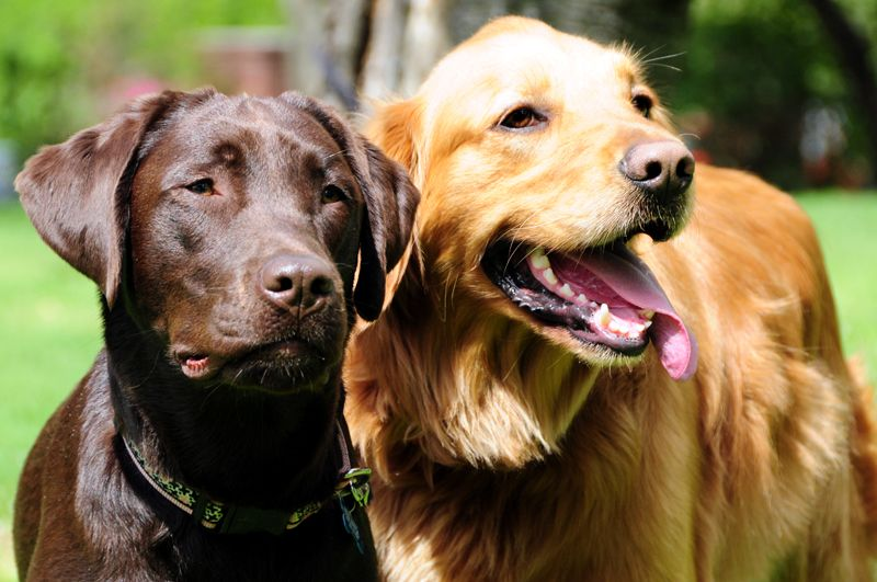 A Chocolate Lab And Golden Retriever With Images Golden