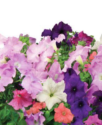 Aerogarden Cascading Petunias 3 Pod Refill Kit Purple 400 x 300