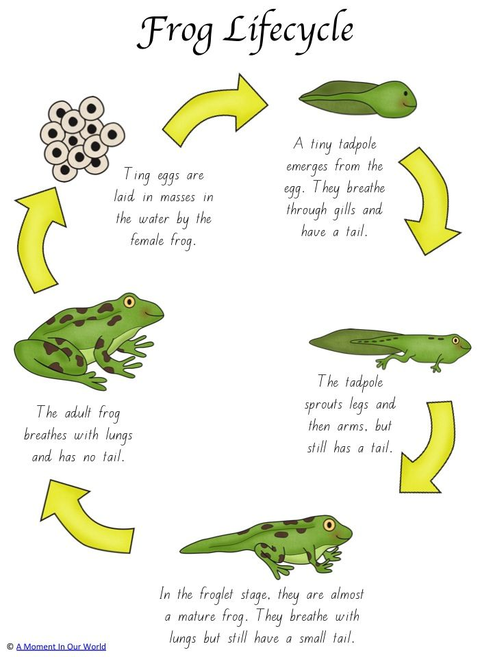Frog life cycle activity pack frog life cycles youngest The frog in the swimming pool poem answers