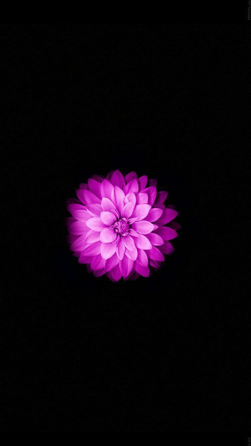 Apple Iphone 6 And Iphone 6s Wallpaper With Purple Lotus Flower In