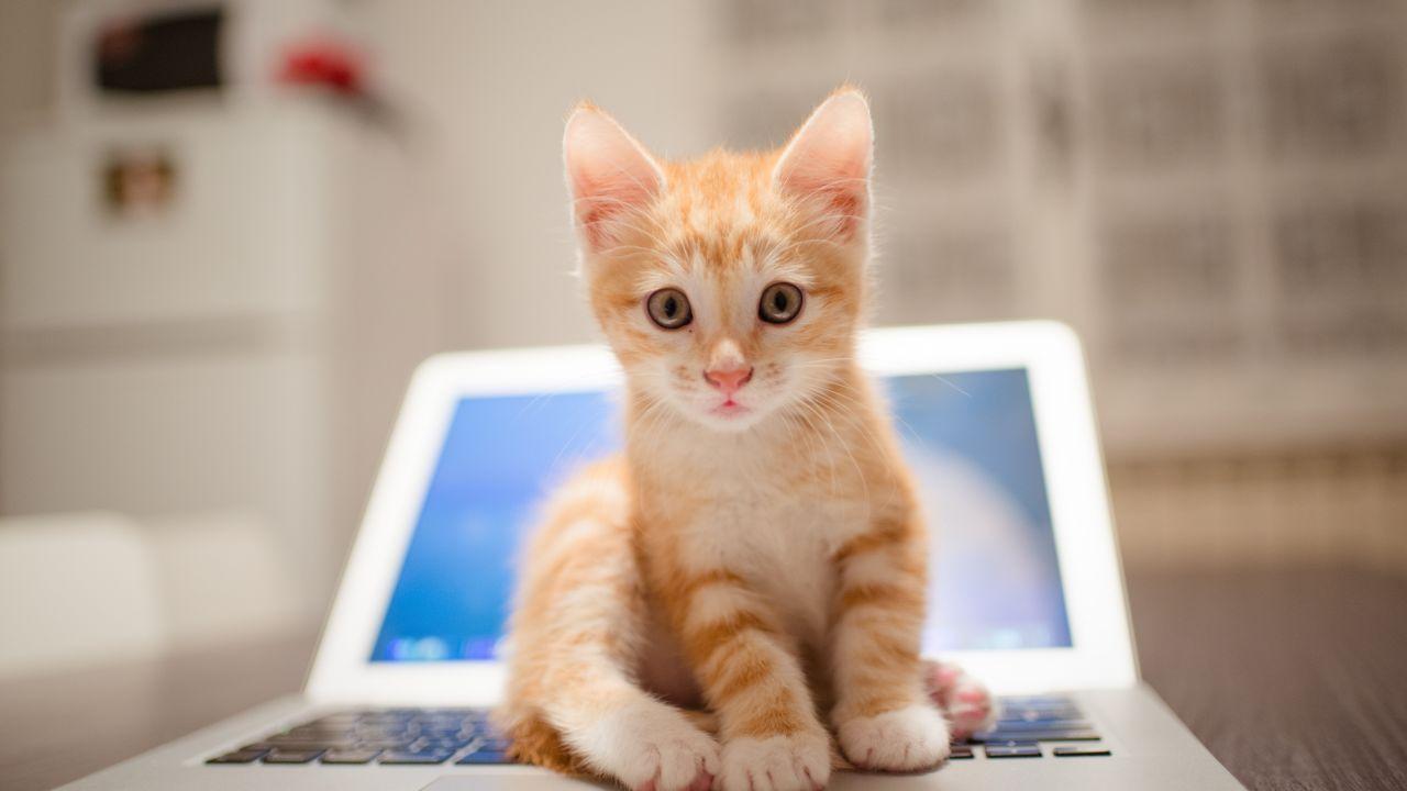 Kitten Cat Cute 8k Horizontal Kitten Cats And Kittens Animals