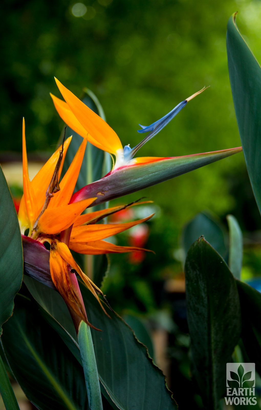 Orange Bird Of Paradise Strelitzia Reginae In 2020 Orange Bird Birds Of Paradise Hardscape