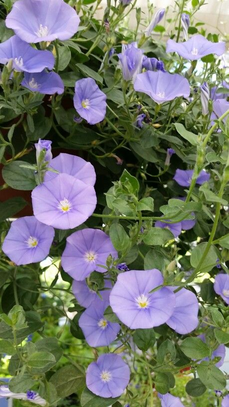 Convovulus Sabatius Trailing Blue Morning Glory Periwinkle Blue Blooms Wonderful In A Han Morning Glory Flowers Blue Morning Glory Full Sun Container Plants