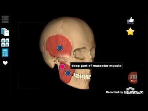Anatomia em 1 minuto - Músculos da mastigação em 3D - YouTube ...