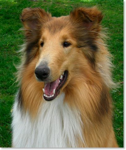 What A Sweet Collie Smile Their Expressions Are So Warm And