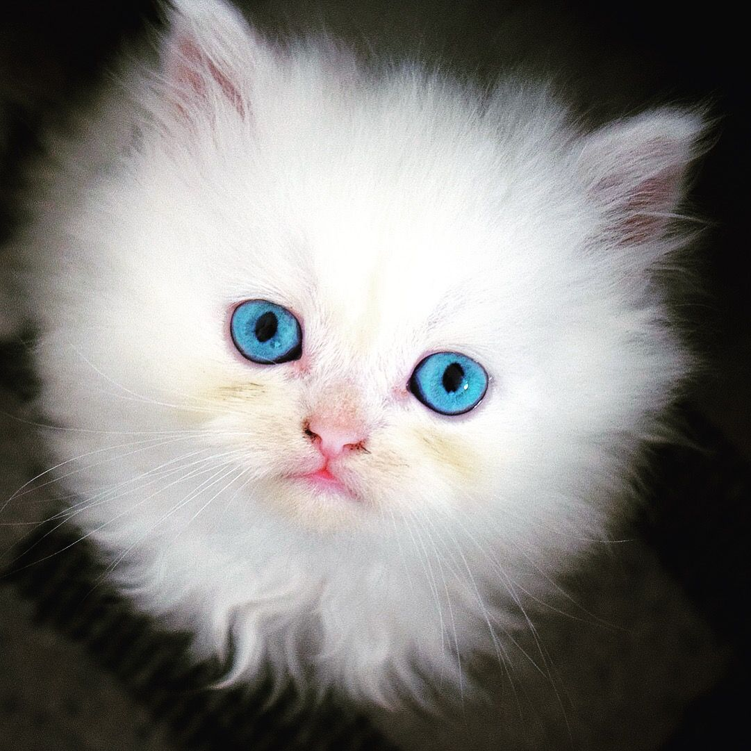Baby Cat Blue Eyes Cat With Blue Eyes Baby Cats Cute Cats