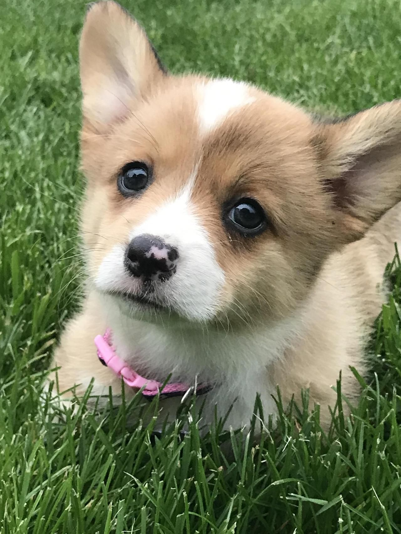 The Queens Corgis Our New Baby Gwendolyn At Queenscorgi Tumblr Com Corgi Corgi Queen Corgi Dog