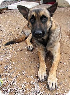San Tan Valley, AZ Belgian Malinois. Meet Boomer a Dog