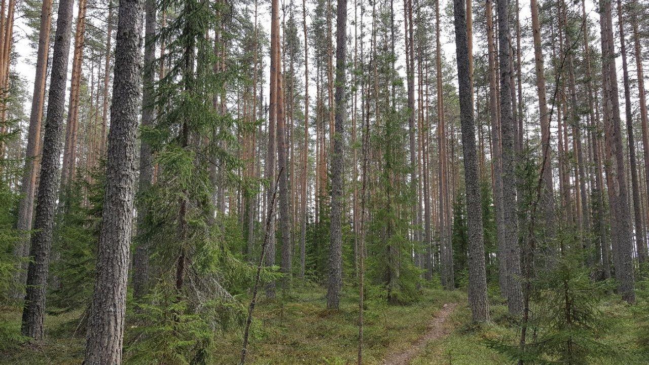 Kuva 2. Runsaspuustoinen metsikkö näyttää tältä