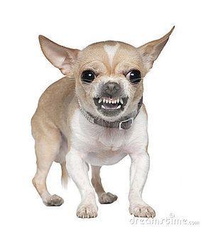 Pitbull Mix Chihuahua Dog Growling Aggressive Dog Chihuahua Breeds