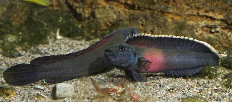 Congo River Fish Evolution Shaped by Intense Rapids