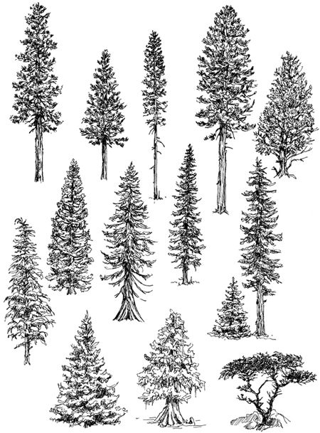 How to draw trees: Conifers by landscape drawing artist