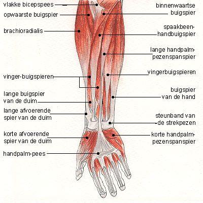 spieren van de hand