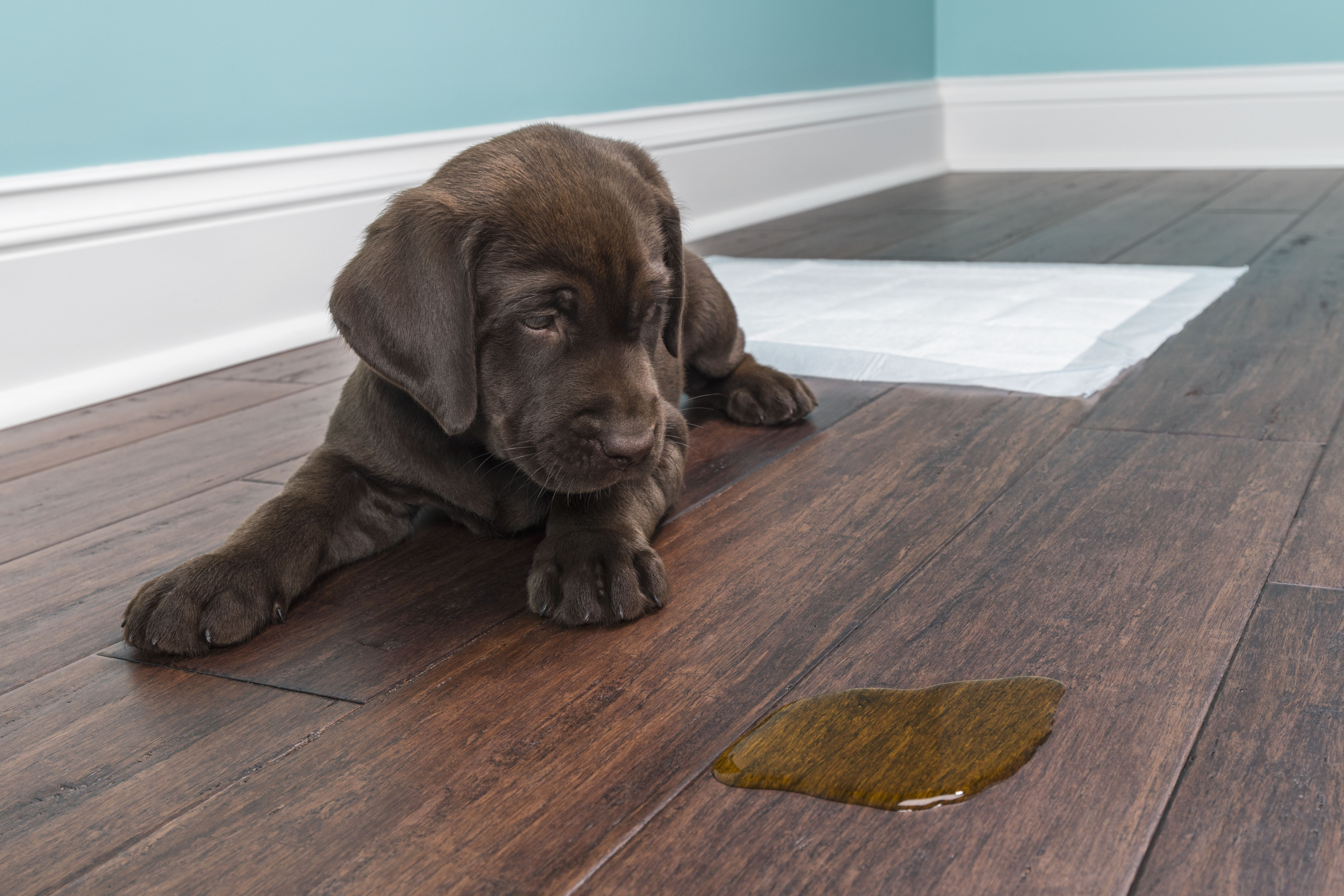 How Do You Get Dog Smell Out Of Hardwood Floors Carpet