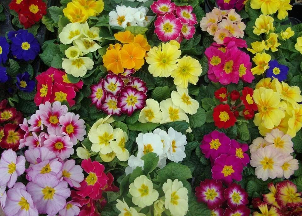 Pin by Chrow on Flowers Buy garden, Primroses, Primula