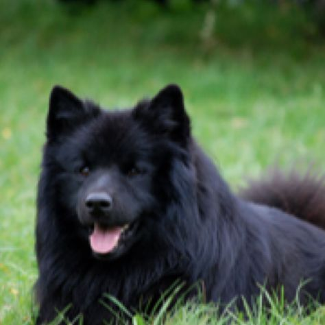 Swedish Lapphund Spitz Type Dogs Rare Dog Breeds