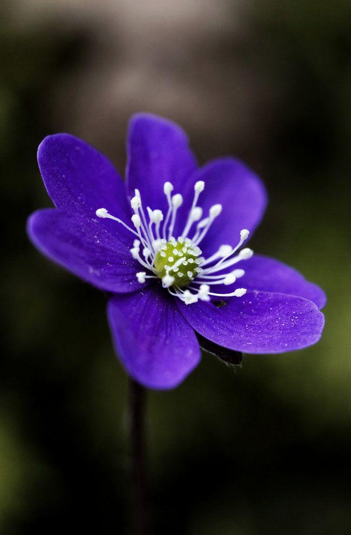 Anemone Hepatica 3 By Eremita85 On Deviantart Small Purple Flowers Purple Flowers Flowers Nature