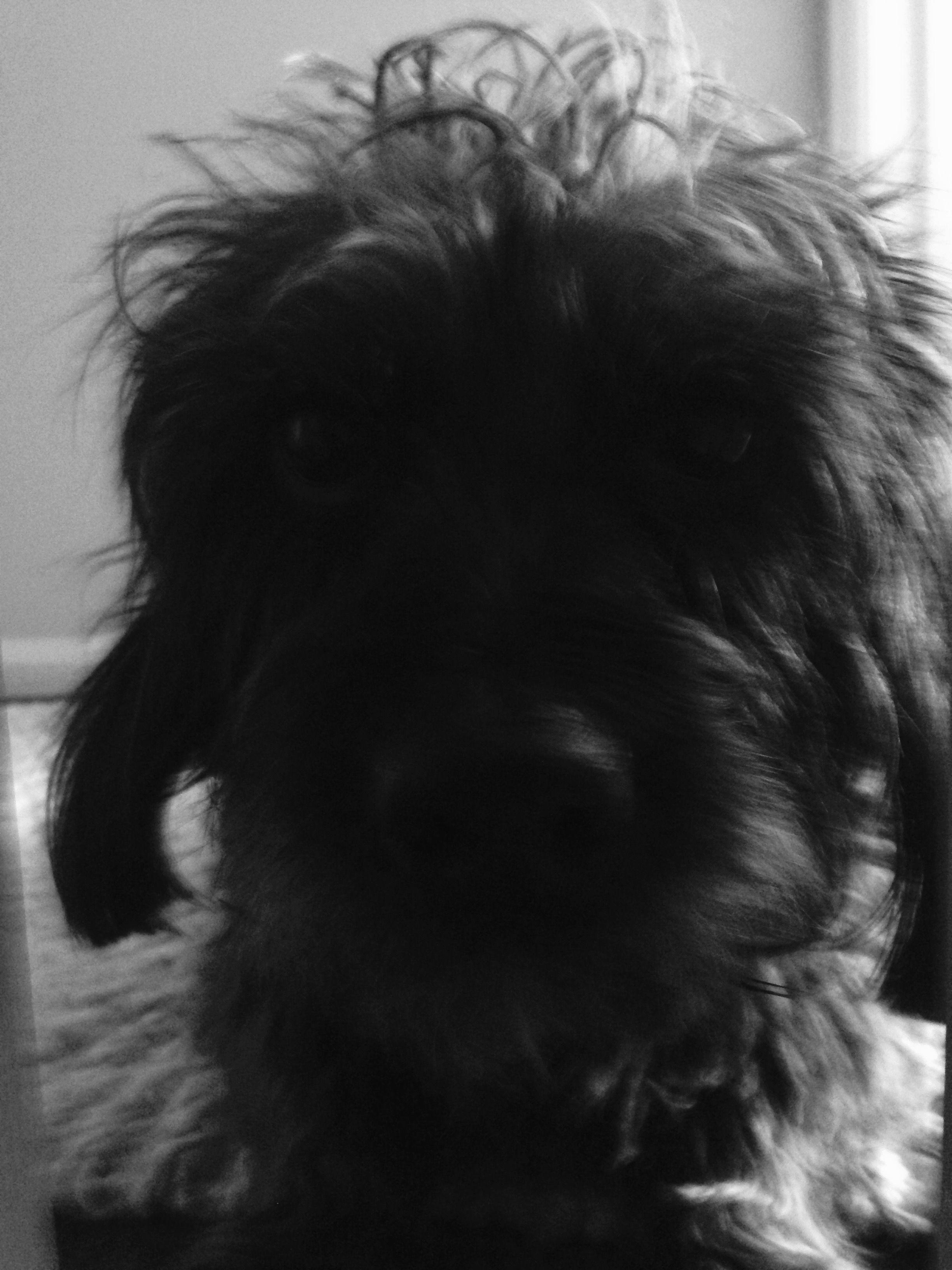 Black wirehaired dachshund Harry Wire haired dachshund
