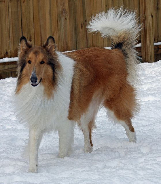 Winter Storm 2010 Collie Rough Collie Collie Beautiful Dogs