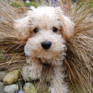 Apricot And White Schnoodle Pup Looks Like My Brody Schnoodle