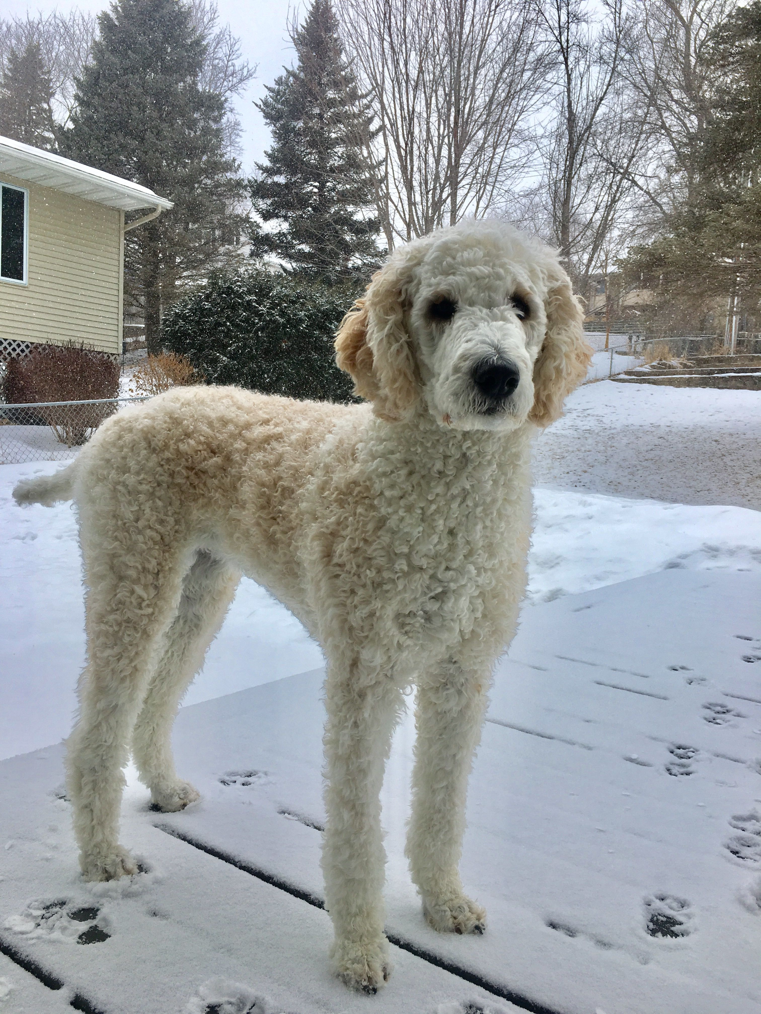 leggy miss penny the standard poodle | penny the standard