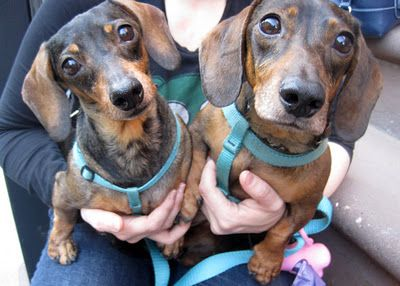 Bonnie And Clyde Brother And Sister Adopted Weiner Dog Cool