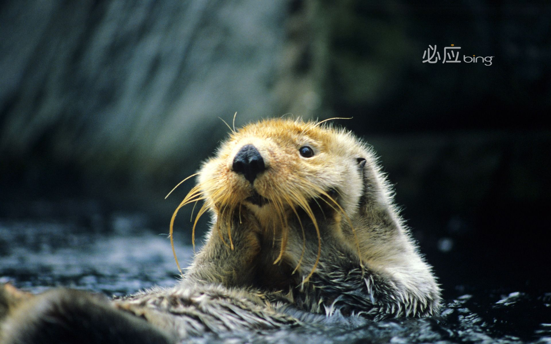 Bing Wallpaper Archive Bing Hi Res Desktop Backgrounds Sea Otter Otter Cartoon Otter Illustration