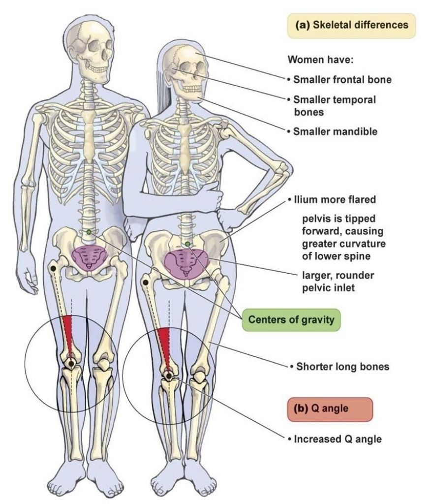 Anatomy Difference Between Male And Female Human Skeleton Male Vs ...