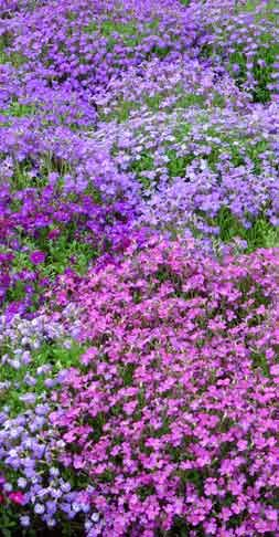 Image result for purple aubrieta flowers Pinterest