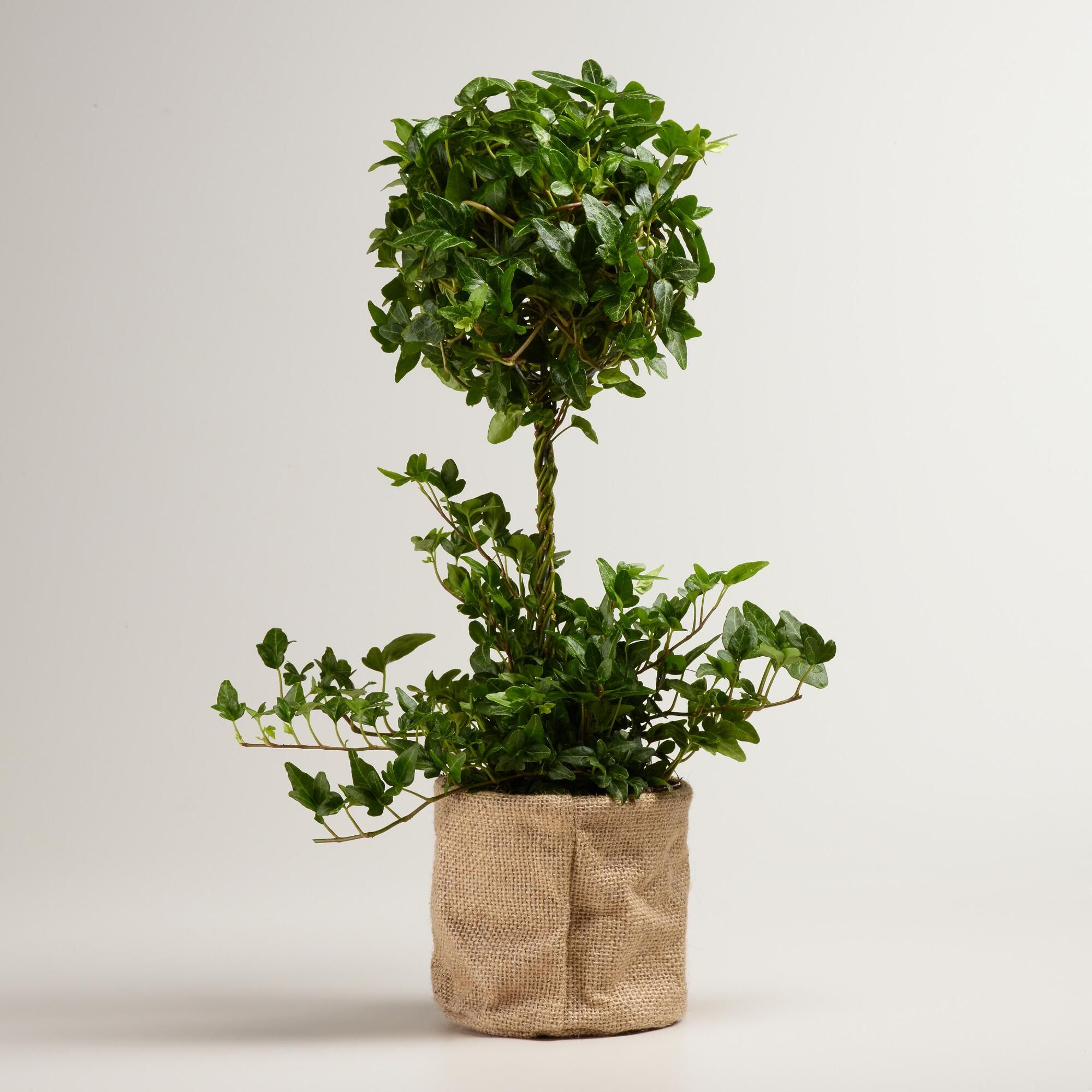live ivy topiary