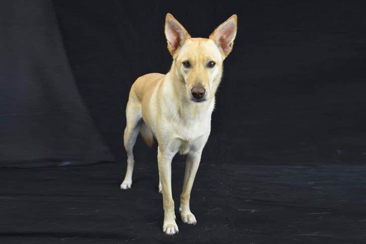 Carolina Dog Dog Breed Information Dog Breeds Dingo Dog Dog Facts