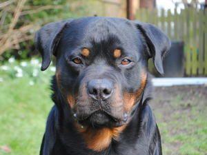 Pedigree Kc Registered Rottweiler Puppies In Driffield East Yorkshire Born 20 02 15 Rottweiler Puppies Rottweiler Puppies