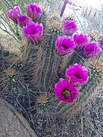 Planting Cacti is an easy-care way to add color to a Desert Garden Learn about selecting cacti from a  nursery, in this clip from Step Outside