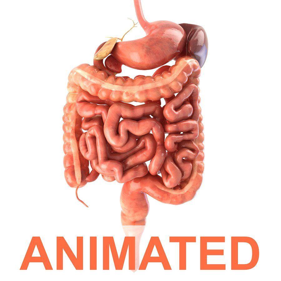 Digestive System Animated Human Digestive System Digestive System Model Digestive System
