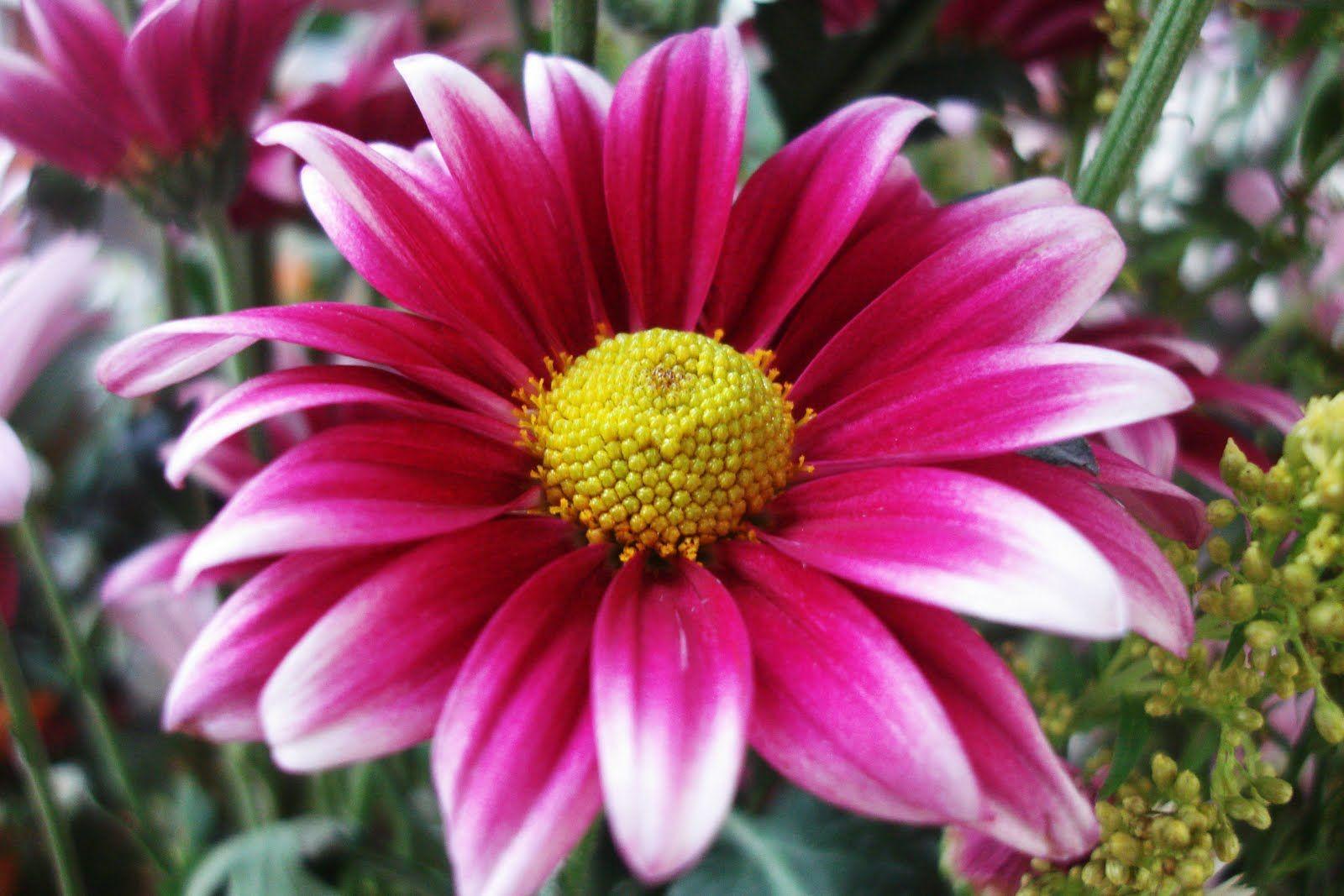 birth flower for september MySECRETCorner September