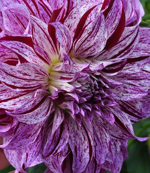 Dahlia ? (flowers close-up) & DIY Projects and Ideas for the Home | Dahlia flowers Dahlia and Flowers