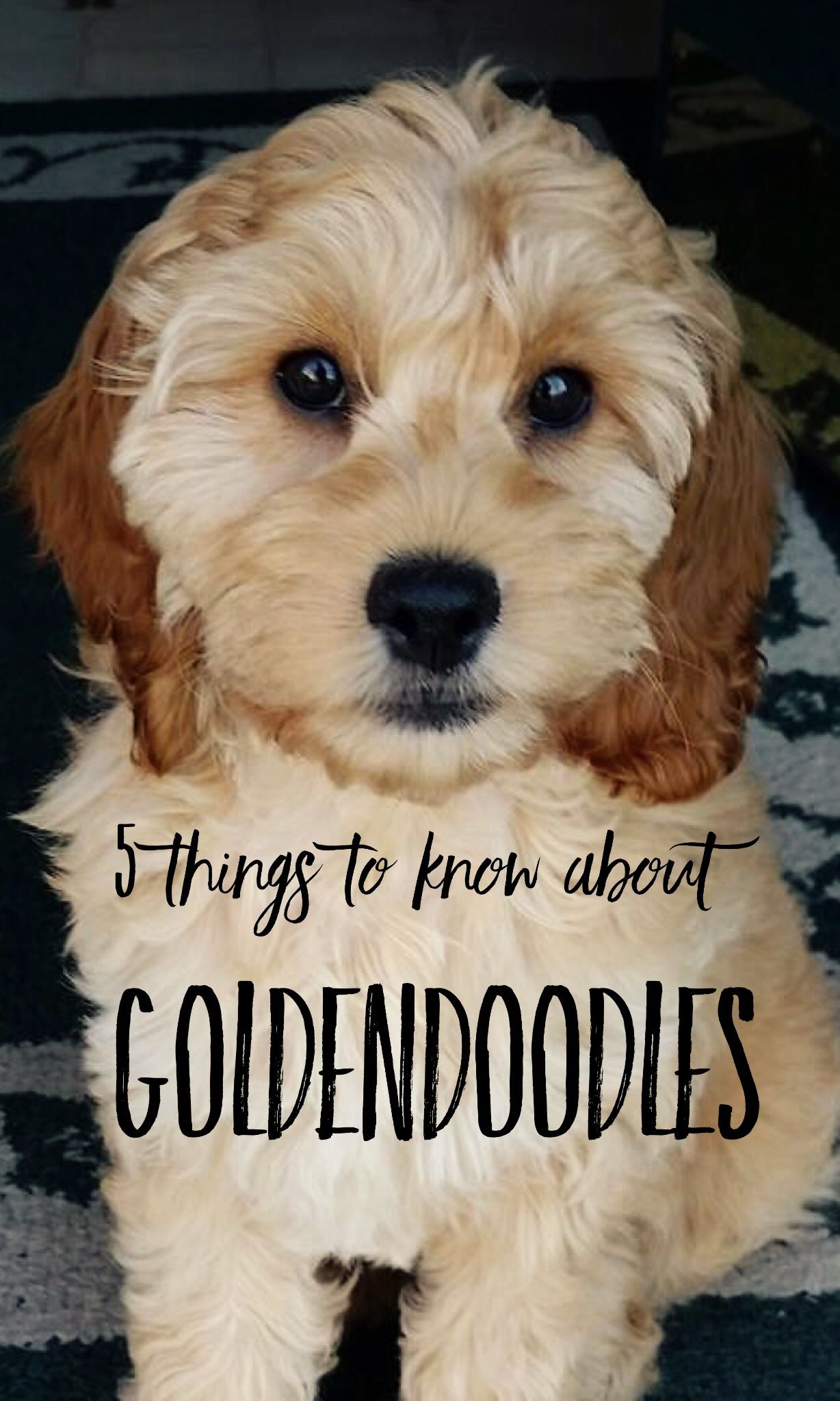 23 best images about goldendoodle haircuts on pinterest 5 things pet parents need to know about goldendoodles