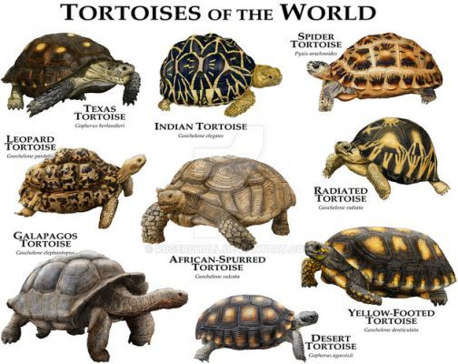 Small Pet Turtle Breeds | Pets (With images) | Galapagos ...