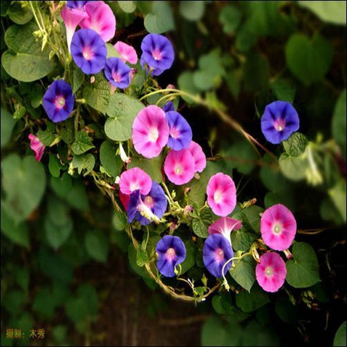 Morning Glory Mix Flower Seeds Convolvulus Tricolor 50 Seeds Morning Glory Flowers Flower Seeds Beautiful Flowers