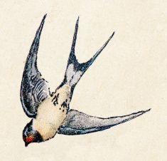 Barn Swallow Birds Animals Antique Ilustration