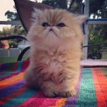 Doll face persian kittens for sale in ga