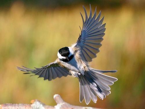 flying chickadee drawing - Google-søk - photo#7