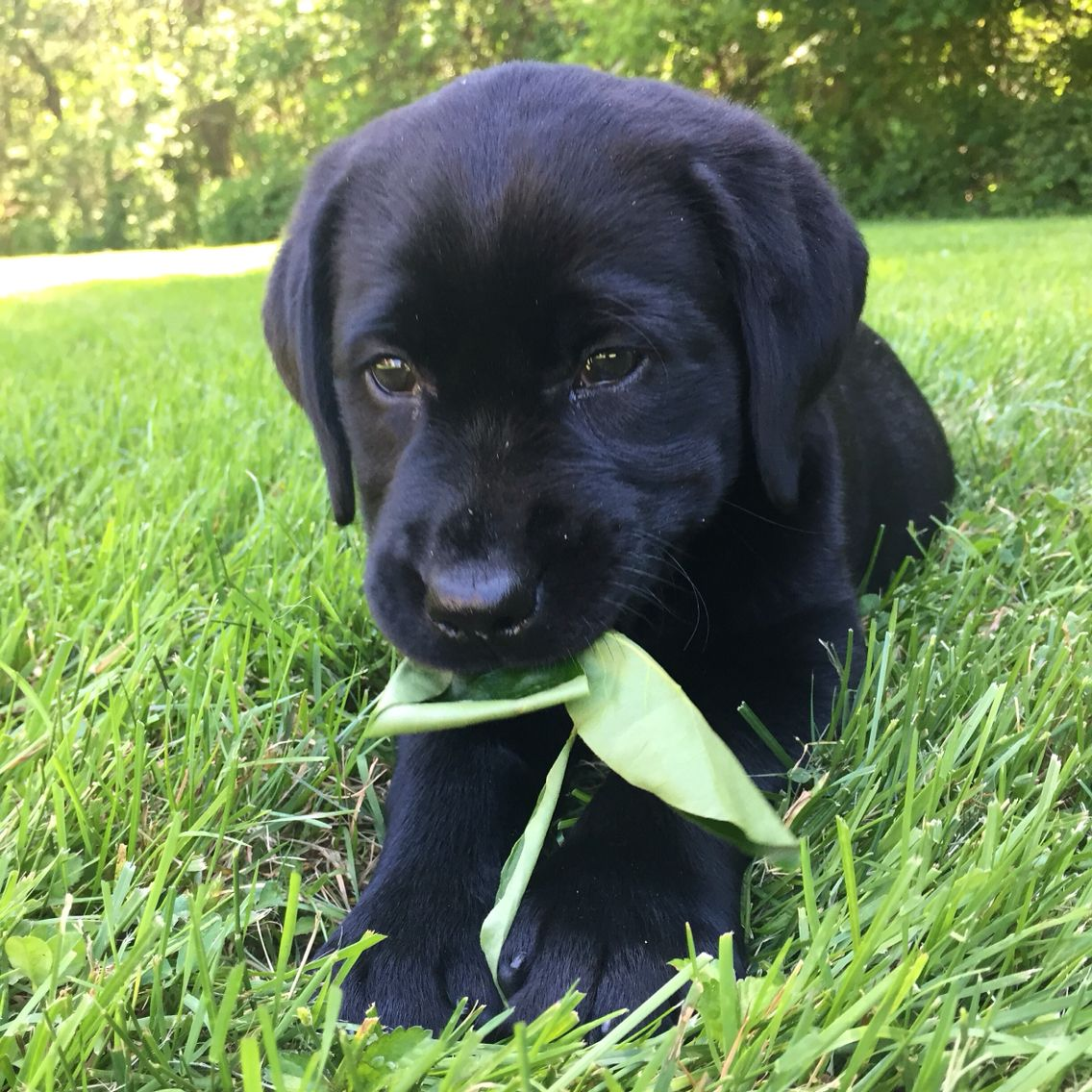 Cutest black lab puppy ever black lab puppies lab