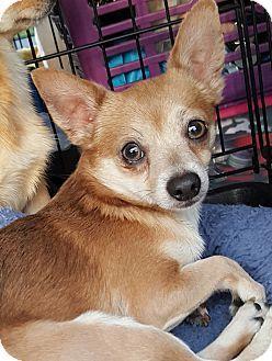 Summerville Sc Chihuahua Pomeranian Mix Meet Alex A Dog For