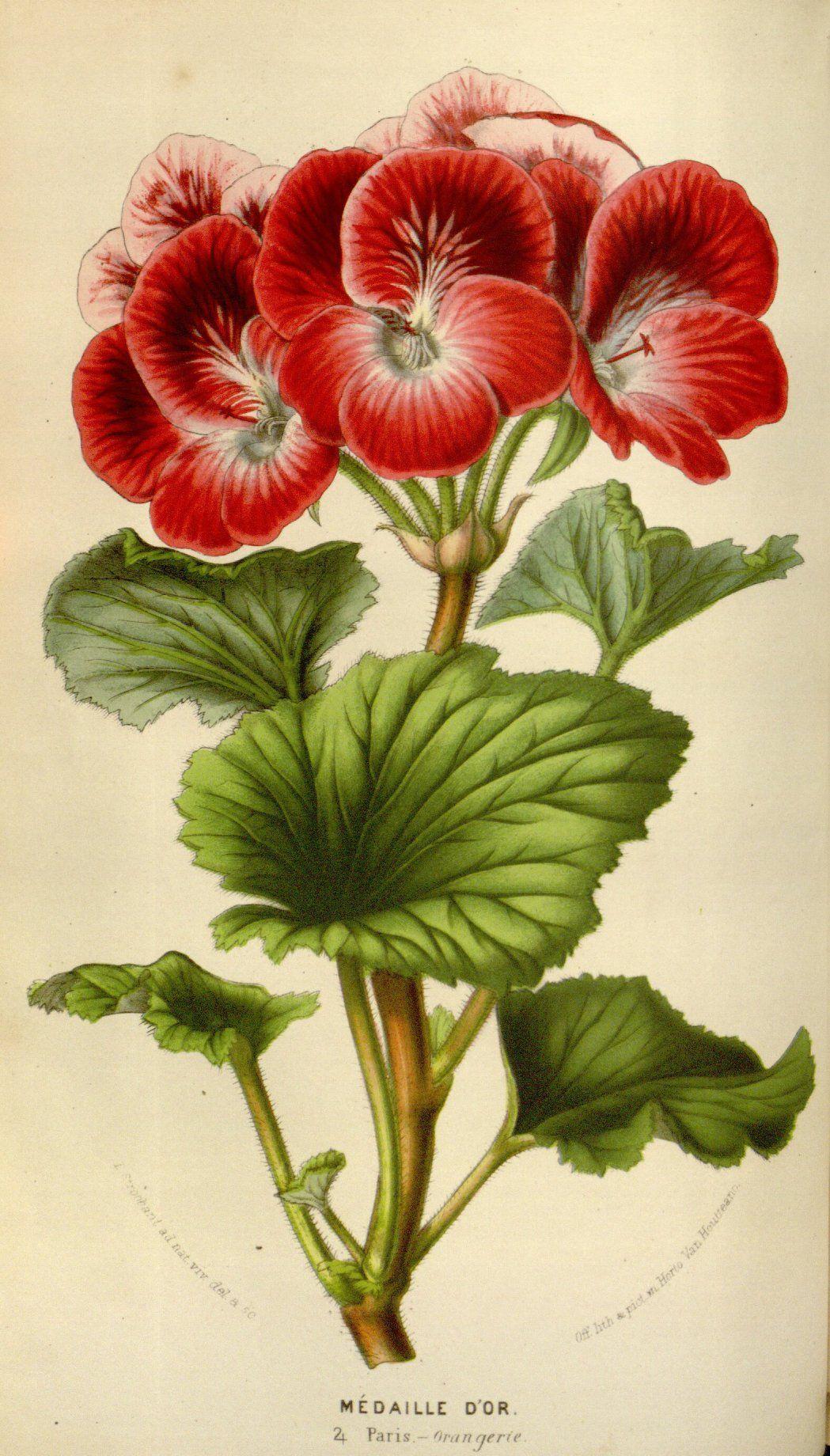 Color Theory Therapy Serafini Amelia Flora Pelargonium