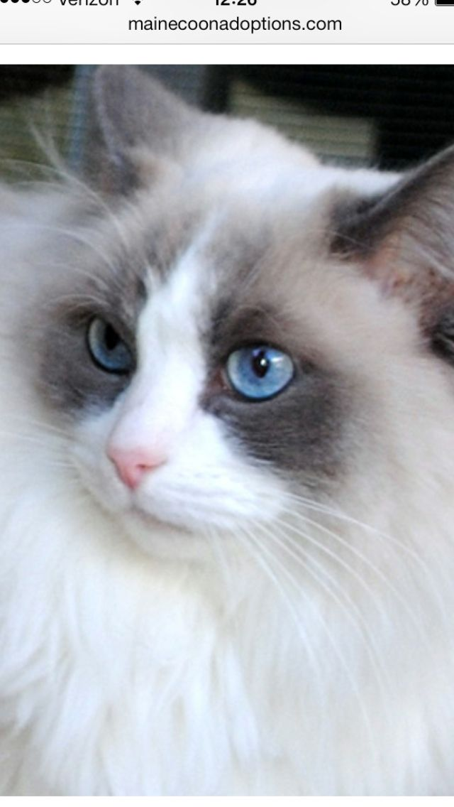 Rescue Me Ragdoll Mix Thelma With Ice Blue Eyes Available For