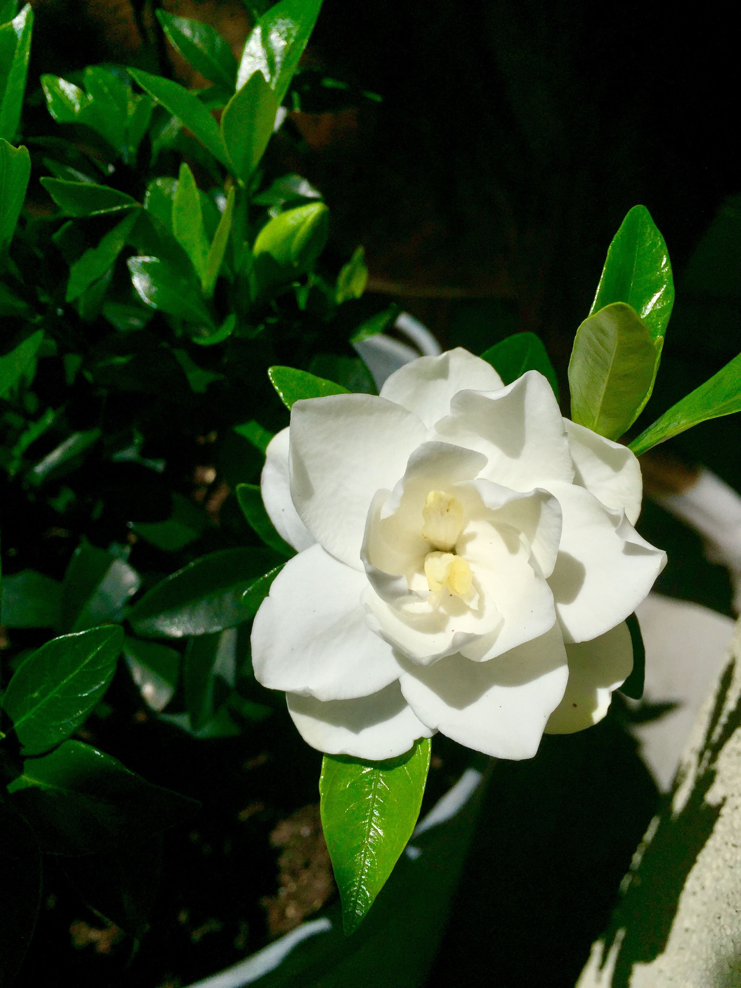 There S Nothing Like The Smell Of Gardenias Blooming In The