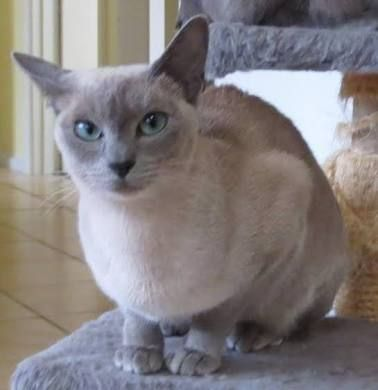 Image Result For Seal Mink Tonkinese Tonkinese Cat Tonkinese Domestic Cat Breeds